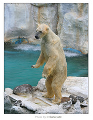 Polar Bear .. (Nasser Bouhadoud) Tags: bear park trip ice water canon thailand 350d bangkok 2006 safari polar pure saher whaite   allil