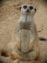 Meerkat (Cyn Reynolds) Tags: meerkat sandiego wildanimalpark 2007 dscf828 sandiegozoosafaripark