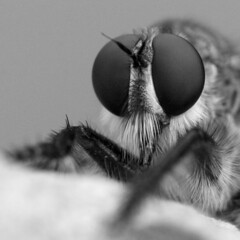 Machimus portrait (macropoulos) Tags: bw fly 500v20f 500v50f 1000v100f topf100 soe animalia arthropoda robber diptera asilidae insecta naturesfinest 500x500 compoundeyes bwdreams 1500v60f 1000v40f canonef100mmf28macrousm outstandingshots 3000v120f machimus mywinners canoneos400d anawesomeshot superaplus aplusphoto specinsect 100faves100comments1000views goldenphotographer macromix artlegacy betterthangood bwartaward excapturemacro
