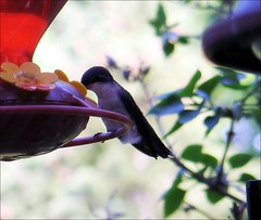 Ruby-throated Hummingbird at rest (blmiers2) Tags: newyork bird nature beautiful birds geotagged hummingbird wildlife avian trochilidae apodiformes backyardbirds birdphoto rubythroatedhummingbirdatrest blm18 blmiers2
