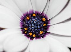 Daisy Blues - by **Mary**