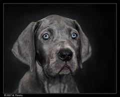 Lexi (mplonsky) Tags: blue portrait dog pet dogs face animal puppy grey eyes topv999 canine fv5 greatdane 5bestdogs pup k9 bestinshow canines amazingtalent impressionsexpressions plonsky 25faves top20black artlibre ultimateshot onlythebestare flickrsbestdogs betterthangood msanimal damniwish winnerbc bestofspecialpetportraits bestofpetportrait
