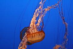 IMG_0988 (jamesb_park) Tags: aquarium monterey montereyaquarium