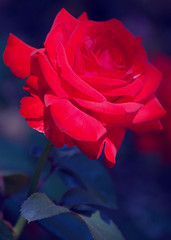 red rose for a blue lady (SleepingBear) Tags: fab optikverve flowerotica anawesomeshot sleepingbearimagewear thomasaalexander