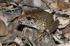 Giant Barred Frog - Mixophyes iteratus (Wildsearch) Tags: cooroy endangered giantbarredfrog mixophyesiteratus qld threatenedspecies