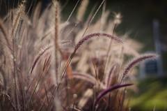 espigas de otoño (rosatifamadelrio) Tags: fave40