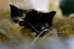 (elena.sim) Tags: kitten kitty winter iceland cat eyes sweet