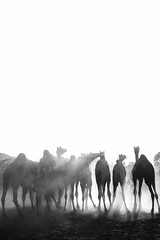 The Expendables (anandgovindan) Tags: cwc cwc561 chennaiweekendclickers anandgovindan anandgoviphotography camels animals blackwhite blackandwhite fineart art pushkar rajasthan negativespace negativespacephotography fair camelfair india travel minimal minimalistic minimalism minimalist sunrays rays img5595 desert