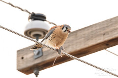 American Kestrel enjoys his lunch