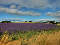 Lavender field - Snowshill Worcestershire (Nala Rewop) Tags: uk england lavender cotswolds worcestershire hdr snowshill blueribbonwinner snowshillvillage