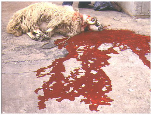 Sacrificed Sheep (do not click if you are squeamish!)