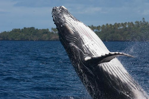 Humpback whale calf por scott1e2310.