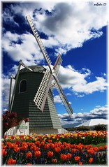 Tulip Festival 2 (osbedu) Tags: sky flores mill primavera windmill colors clouds washington spring colores molino cielo nubes tulip tulipfestival tulipan roozengaarde tulipanes thebigone osbedu anawesomeshot impressedbeauty