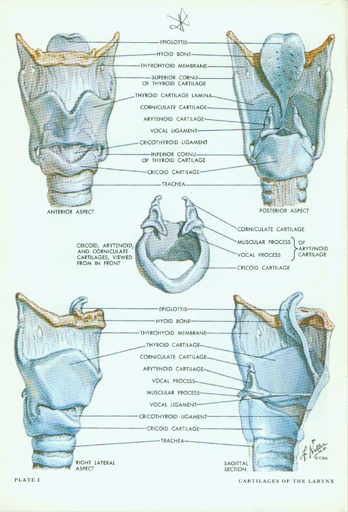 larynx anatomy netter - photo #11