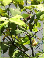 Yellow-vented bulbul on recce mission