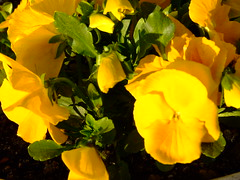 Pansy (Oliver Fist) Tags: flowers flower macro green yellow garden daylight pansy krakow krakoff