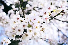 * too much? (* tathei *) Tags: city flower japan zeiss canon cherry eos 50mm blossom f14  5d  dslr miyagi manualfocus hanami zf shiroshi hitomesenbon   50mmt