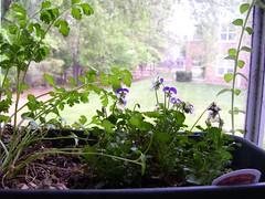 flowers and cilantro