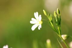 Flower branco 2