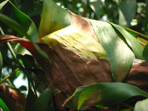 Weaver Ants' Nest
