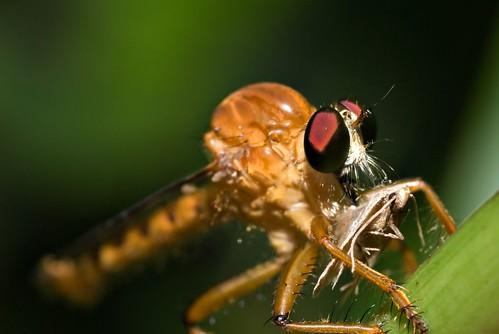 Robberfly Eating Moth
