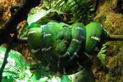 NYC - Brooklyn - Prospect Park Zoo: Animals in Our Lives - Emerald Tree Boa (wallyg) Tags: park nyc newyorkcity ny newyork brooklyn zoo reptile snake prospectpark landmark boa gothamist animalplanet prospectparkzoo kingscounty wcs nationalregisterofhistoricplaces emeraldtreeboa coralluscaninus wildlifeconservationsociety nrhp usnationalregisterofhistoricplaces newyorkcitylandmarkspreservationcommission nyclpc sceniclandmark animalsinourlives