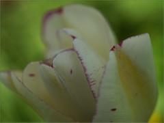 Purple Edges (Kirsten M Lentoft) Tags: white flower macro garden purple edge tulip momse2600 kirstenmlentoft