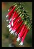 Mt Tomah Botanical Gardens. (Brenda-Starr) Tags: flowers plants flower macro nature gardens canon flora bravo australia bluemountains canon350d ef100mmf28 canonrebel excellence mounttomah