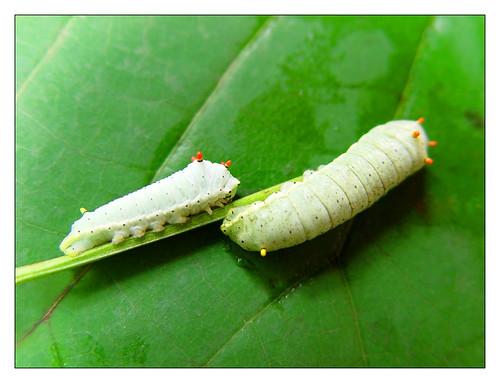 promethea caterpillars