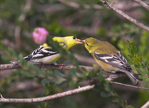 American goldfinch baby - photo#13