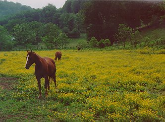 Horses in a field of buttercups not far from my home...