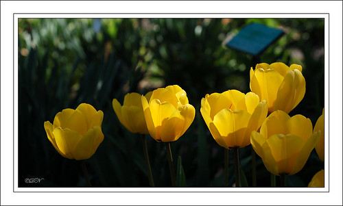 yellow tulips DSC_1819