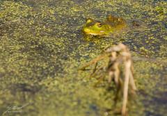 Kensington Bull Frog
