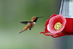 Rufous Hummingbird (Male) - by Rick Leche