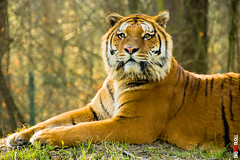 Tiger (BigRedTroll) Tags: animal body cat closeup danger eye eyes mammal nature people portrait potential rest resting stare stripe tiger zoo