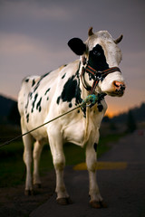 Cow - Tribute To Pink Floyd (Luis Montemayor) Tags: road deleteme5 sunset deleteme8 portrait deleteme deleteme2 deleteme3 deleteme4 deleteme6 deleteme9 deleteme7 animal mexico atardecer cow saveme4 saveme5 saveme6 saveme camino carretera saveme2 saveme3 deleteme10 retrato myfavs vaca lamarquesa canon50mmf14
