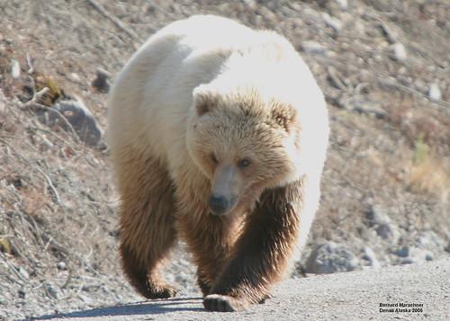 Teklanika Tolklat Grizzly