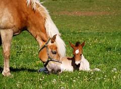 Learning to eat (Batram) Tags: horse topf25 germany deutschland thringen bravo flickr photos thuringia explore pferd foal fohlen splendiferous batram abigfave impressedbeauty 552007