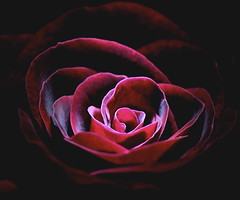 Midnight Rose (shinichiro*) Tags: flower macro rose japan blog nikon order 25 d200 crazyshin 2007 excellence inmyroom naturesfinest blueribbonwinner supershot flowerscolors flowerotica 105mmmicro abigfave anawesomeshot colorphotoaward goldenphotographer diamondclassphotographer flickrdiamond platinumheartaward gettyselect order500 order20101106