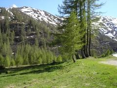 Lärchen im Val Bedretto