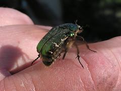 Take off!!! (Reedcat) Tags: macro bug beetle kfer cetonia flowerchafer