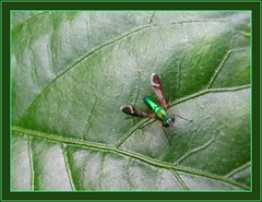A specie of Longlegged Flies (Dolichopodidae) on a hibiscus leaf, shot May 5, 2007
