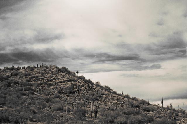 Hill of Saguaro Cactus, Arizona, Outside Phoenix