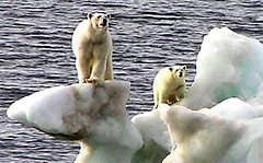 502825985 a86ec7854f m Polar Bears in Peril
