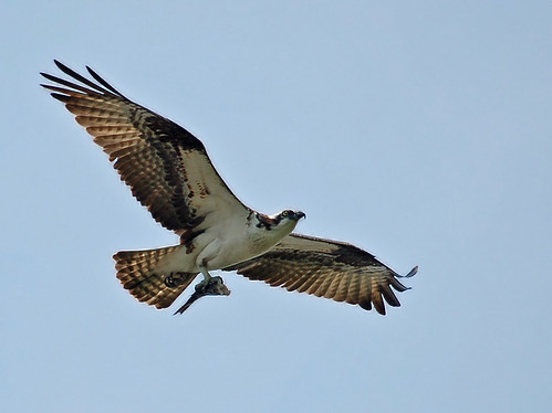 osprey by Alida's Photos