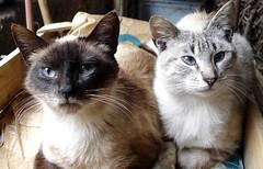 Senar ta emazte katuak / Seor y seora gato / Sire and Lady cat (iosebasque) Tags: cats blanco cat pareja negro gatos gato euskalherria katua katuak marrn ltytr1 animare animalak