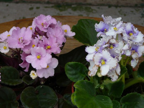 african_violets_50677