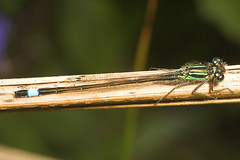 "Blue-Tailed Damselfly (Ischnura elega(1) • <a style=""font-size:0.8em;"" href=""http://www.flickr.com/photos/57024565@N00/513283572/"" target=""_blank"">View on Flickr</a>"