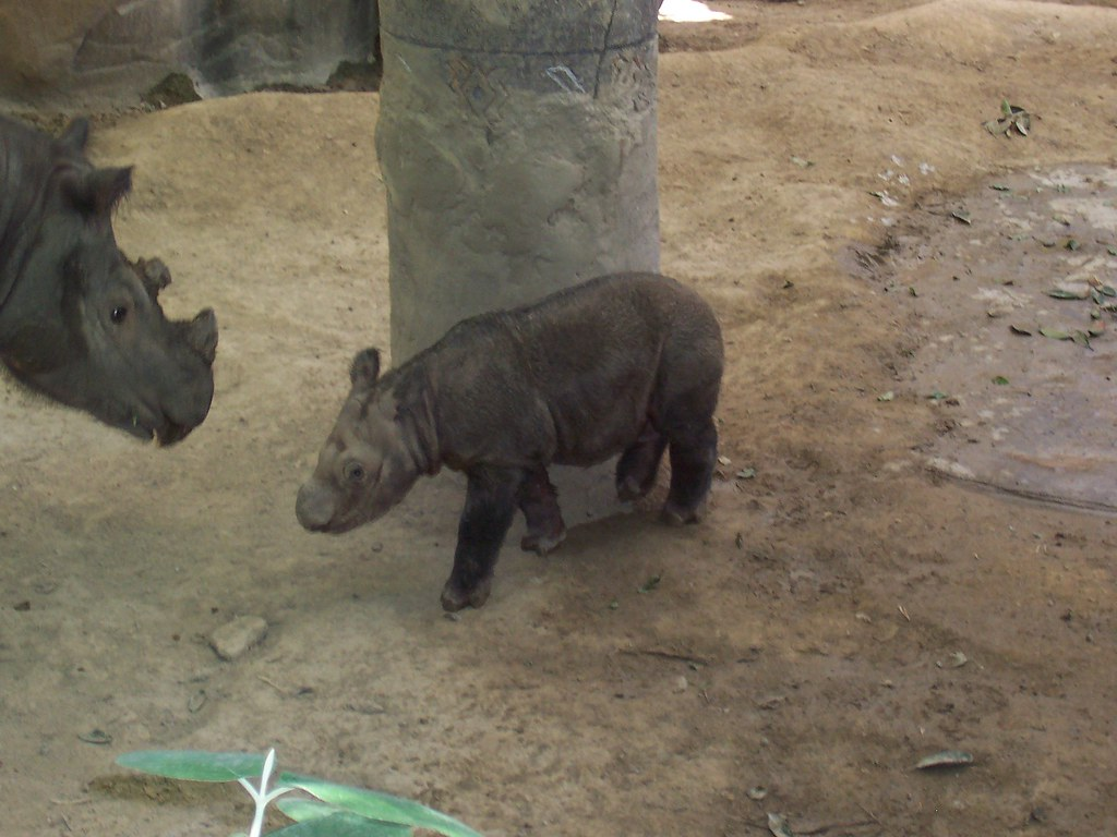 The Baby Sumatran Rhino