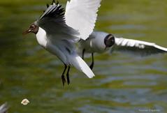 Gull dropping crumb (Edgar Pinelo) Tags: black birds gull headed